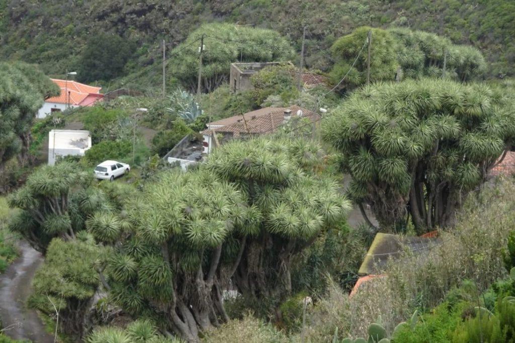La palma drakenbloedbomen ingezoomd